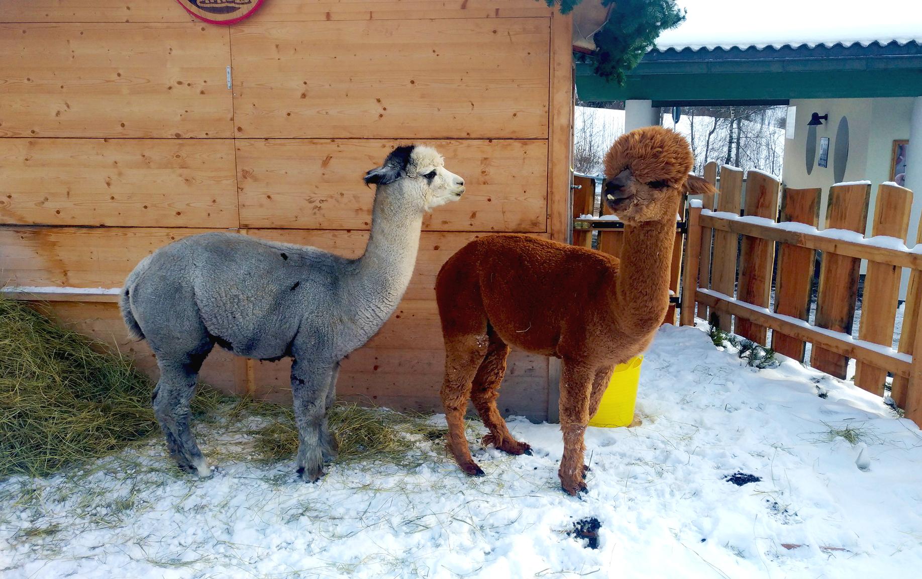 Alpaca in Val Gardena in inverno al mercatino di Natale a S. Cristina