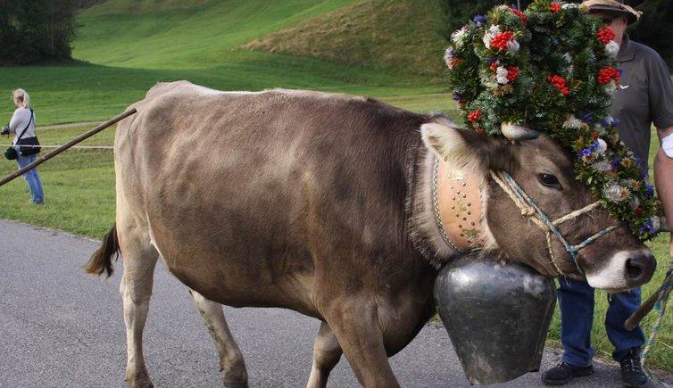 ritorno del bestiame all'alpeggio transumanza val gardena